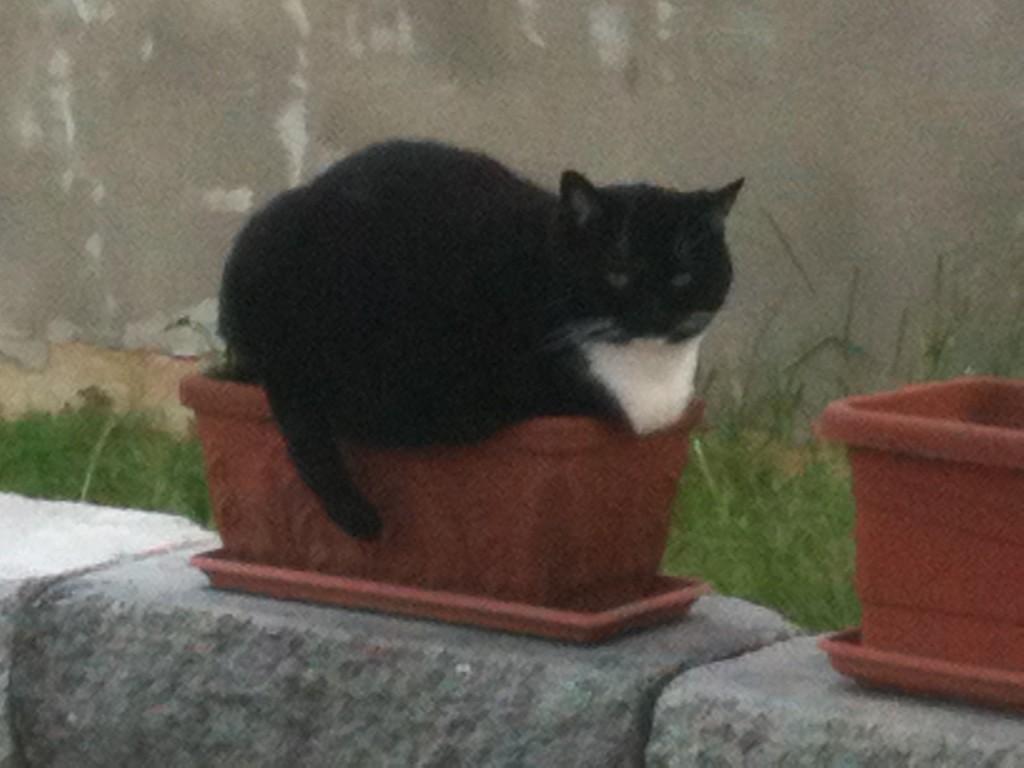Katzenblume